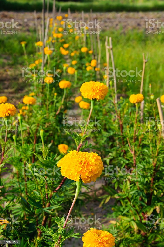 Yellow marigold royalty-free stock photo