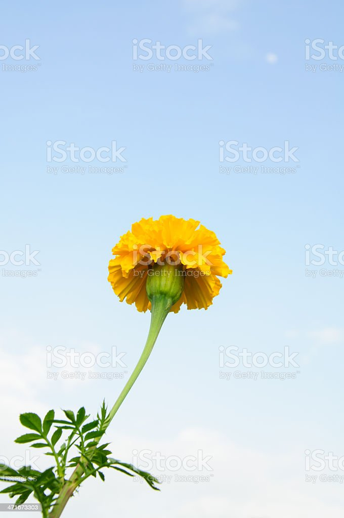 Yellow marigold royalty-free stock photo