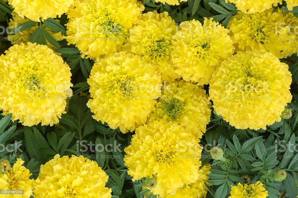 Yellow Marigolds Flower stock photo