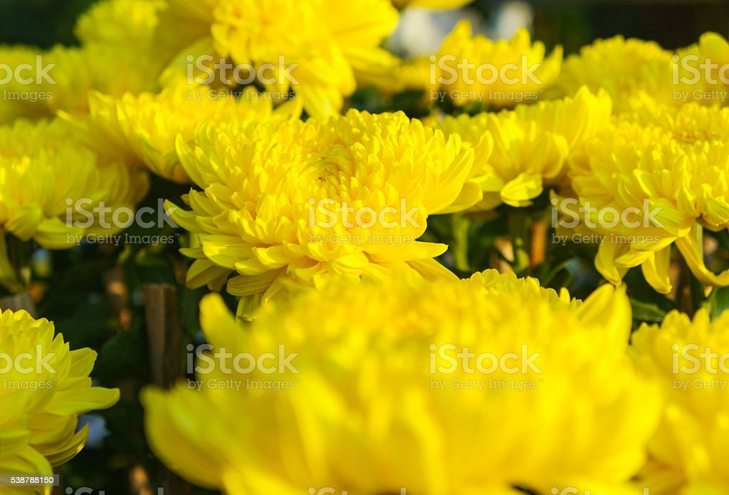 yellow marigolds flowers stock photo