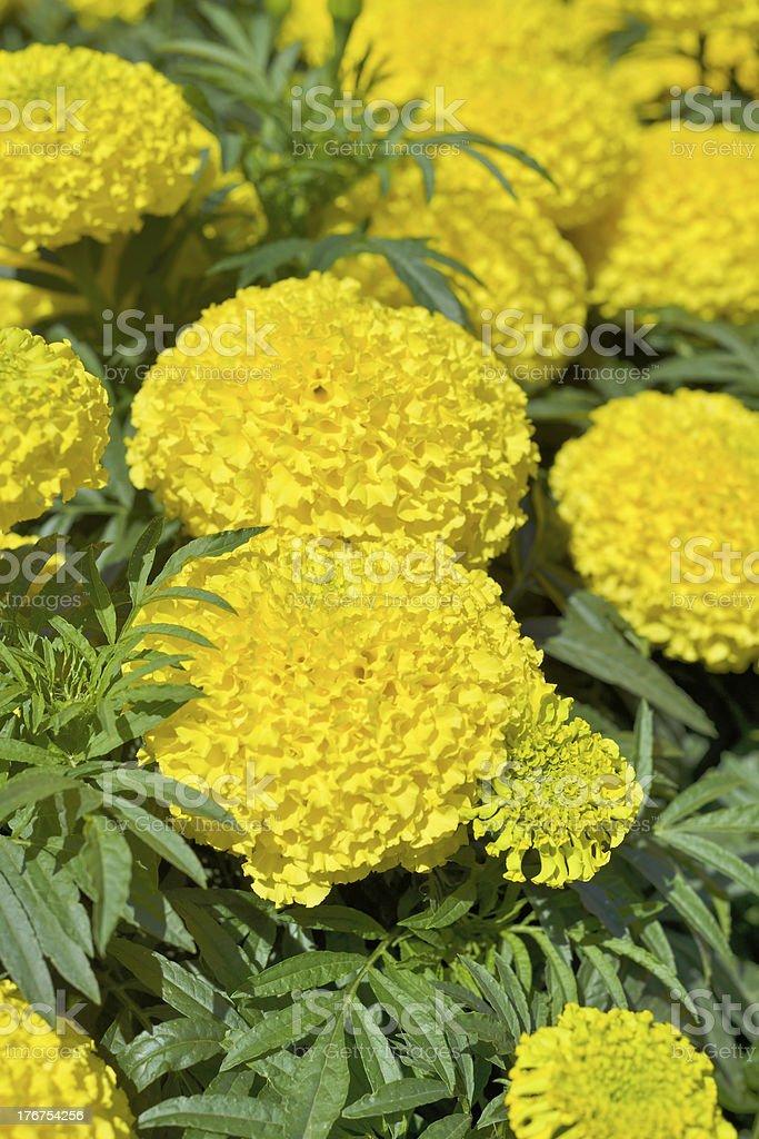 Yellow Marigolds stock photo