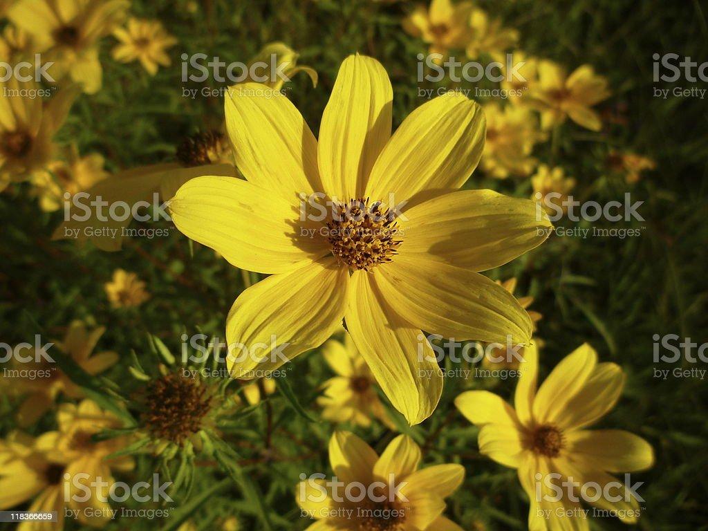 Yellow Maryland Wildflower stock photo