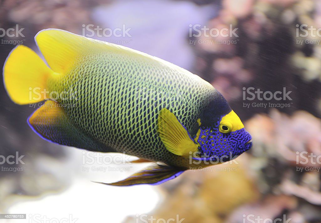Yellow Mask Blueface Angelfish, Pomacanthus Xantometopan royalty-free stock photo