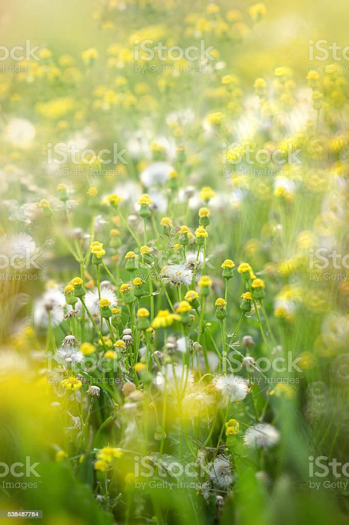 Yellow meadow flowers and dandelion seeds stock photo