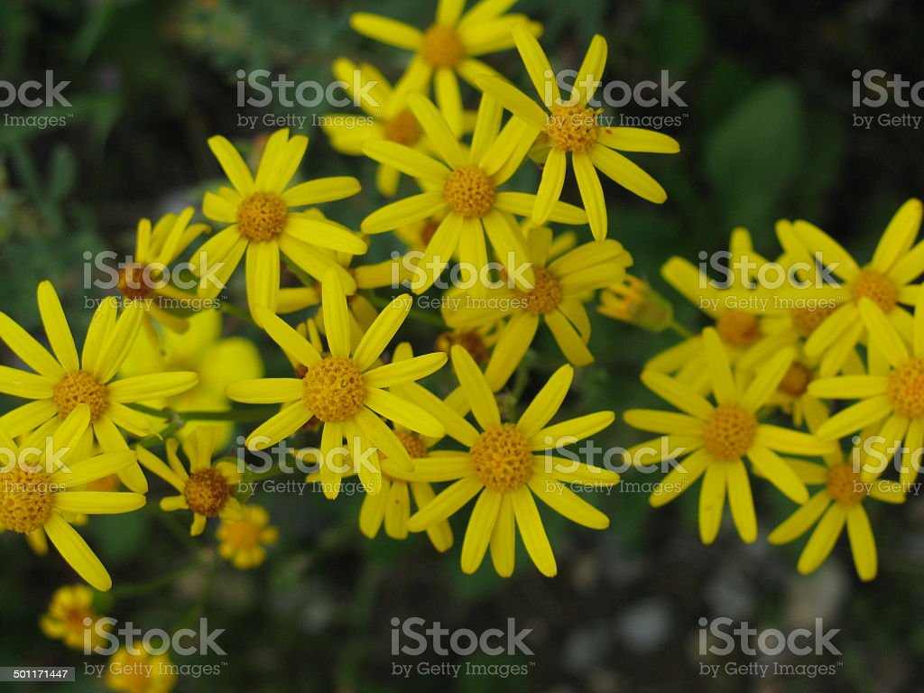 Yellow Meadow Flowers Detail stock photo