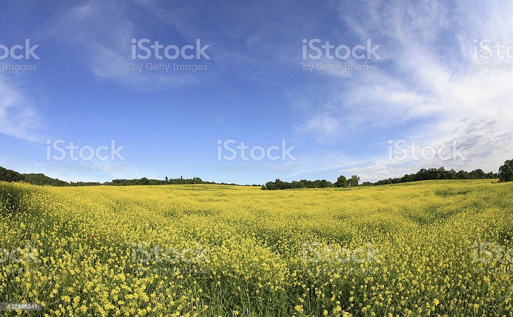 Yellow meadow in Tuscany,Italy royalty-free stock photo