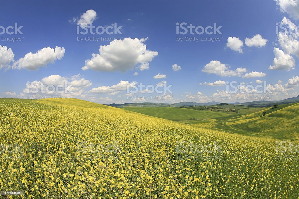 Yellow meadow in Val d'Orcia, Tuscany, Italy stock photo