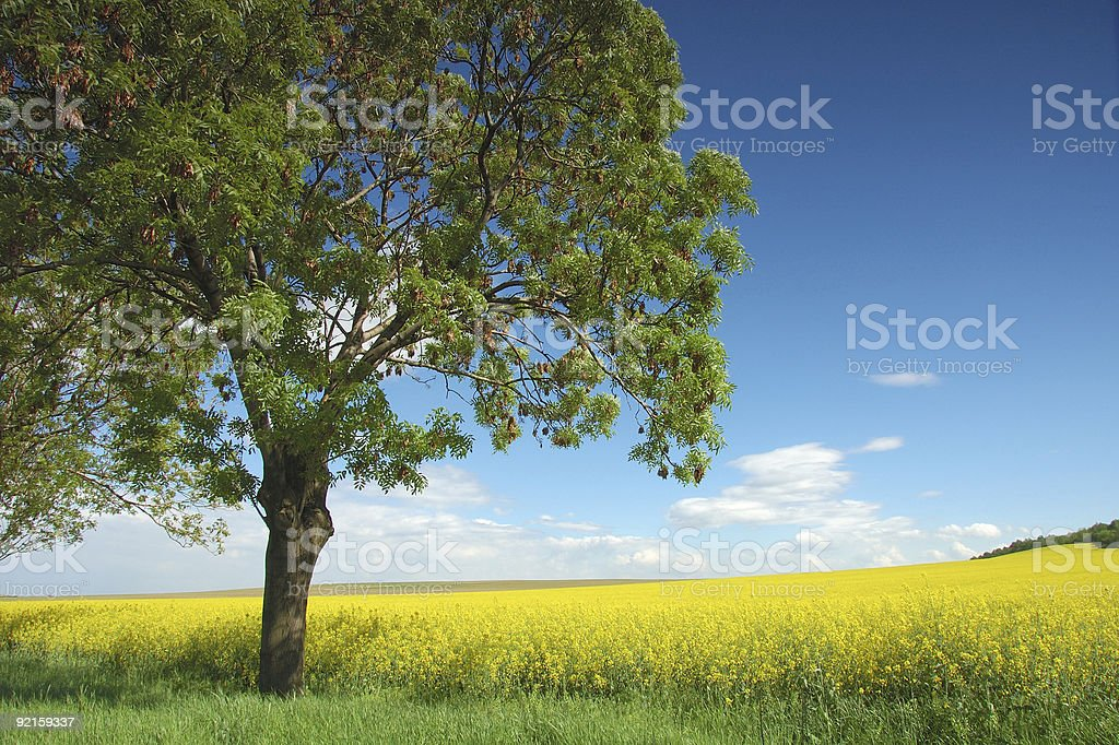 Yellow Meadow stock photo