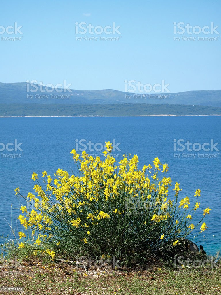 yellow mediterranean flowers stock photo