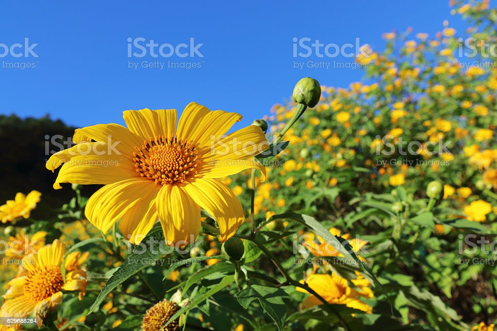 yellow mexican sunflower with blue sky background stock photo