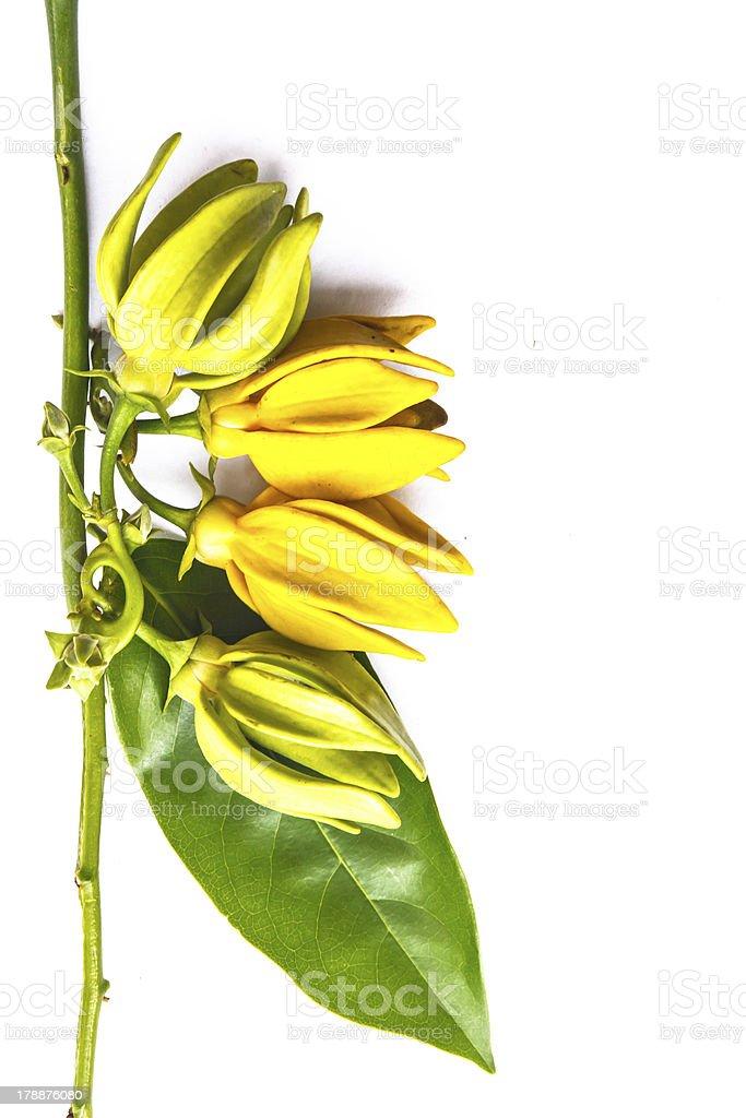 Yellow Michelia Alba royalty-free stock photo