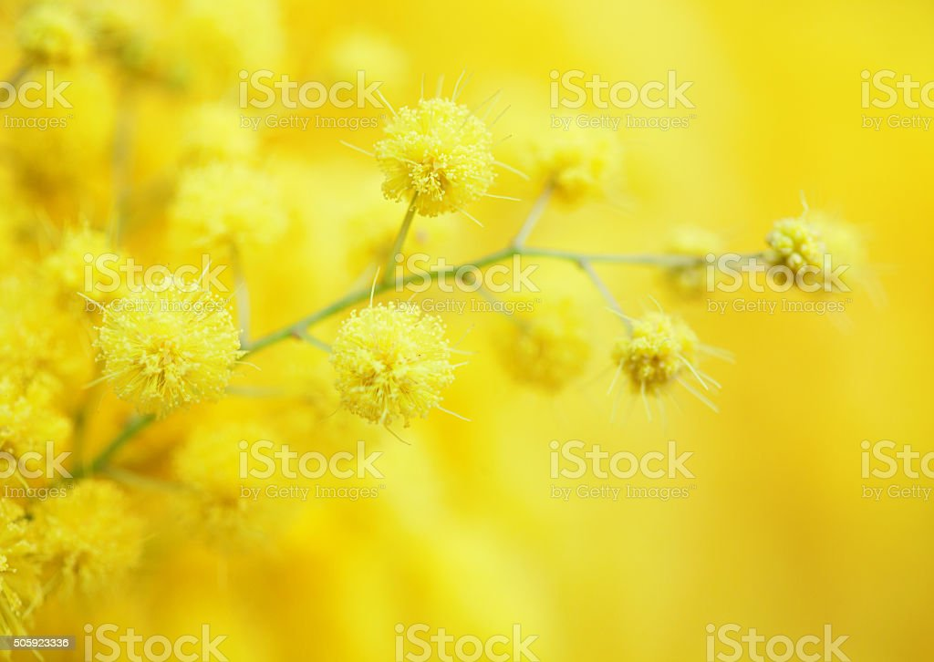 Yellow mimosa flower close-up. stock photo