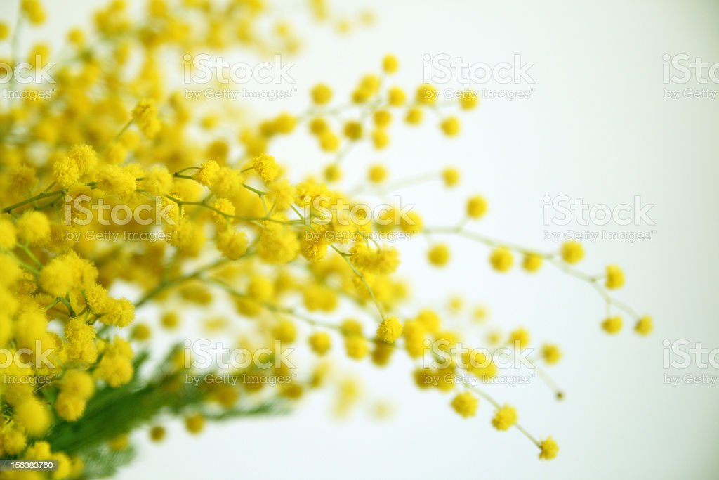 Yellow mimosa flowers on their green stems stock photo