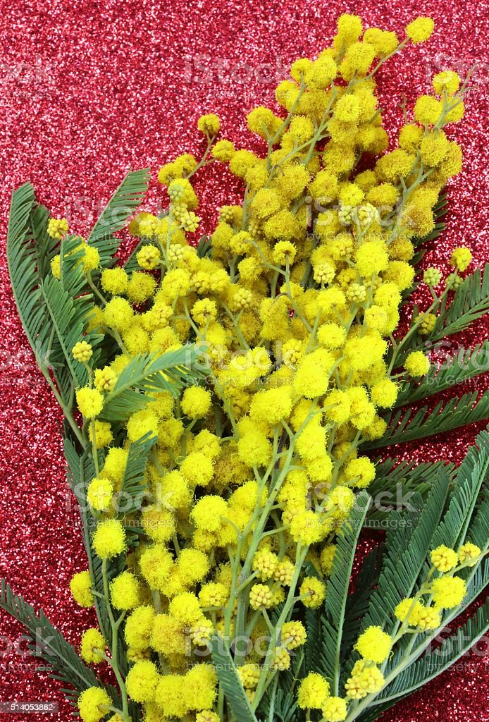 yellow Mimosas in blossom for the international women's day with stock photo