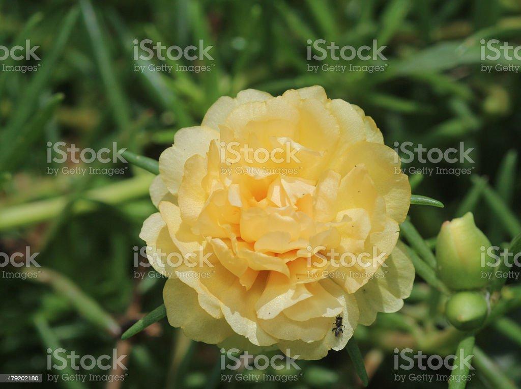 Yellow Miniature rose stock photo