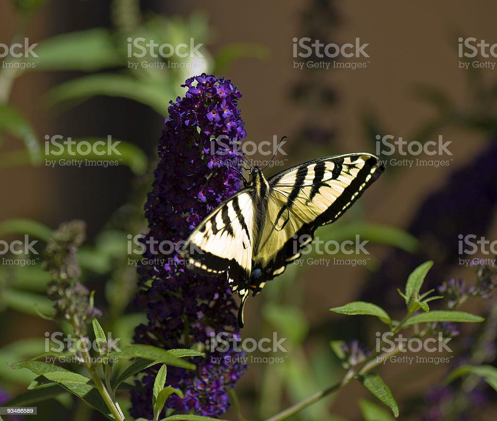 노란색 흑백 제왕나비 on 퍼플 부들레아 royalty-free 스톡 사진