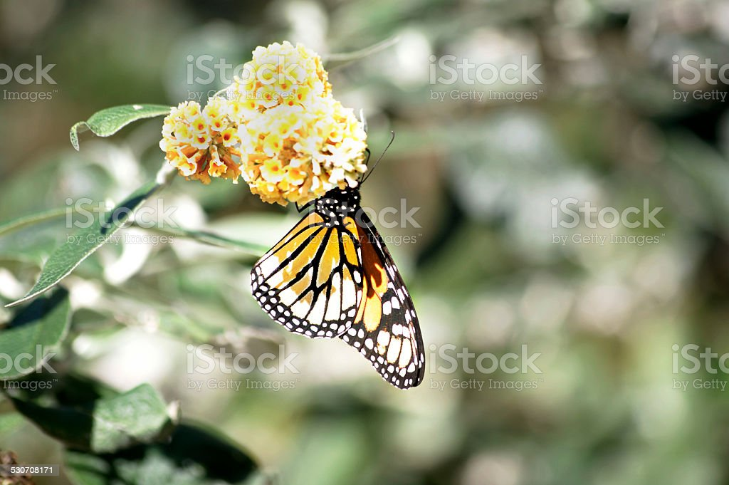 Yellow monarch butterfly on yellow flowers stock photo