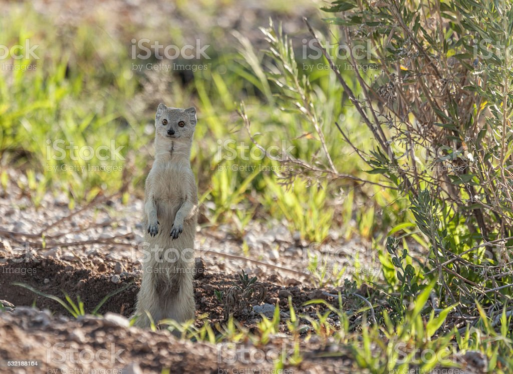 Yellow Mongoose, Cynictis penicillata, Etosha N.P., Namibia, Africa stock photo