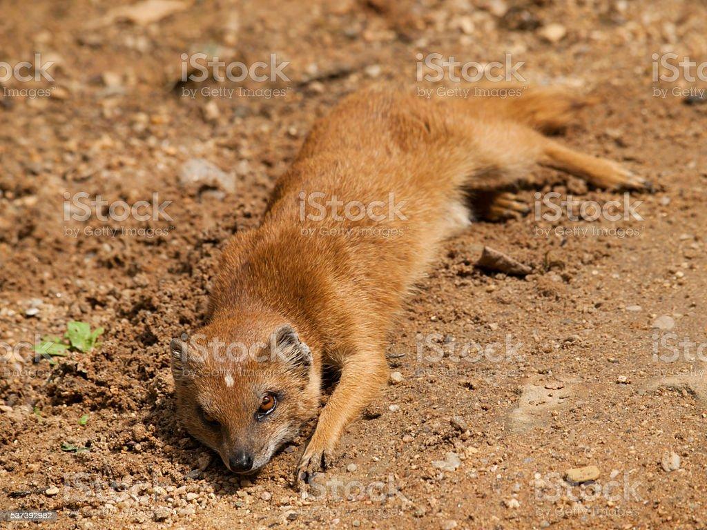 Yellow mongoose - Cynictis penicillata - laying on the ground stock photo