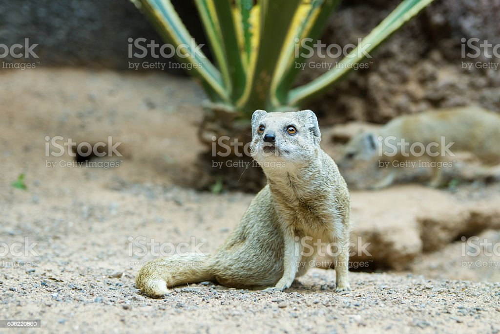 Yellow mongoose - cynictis penicillata stock photo