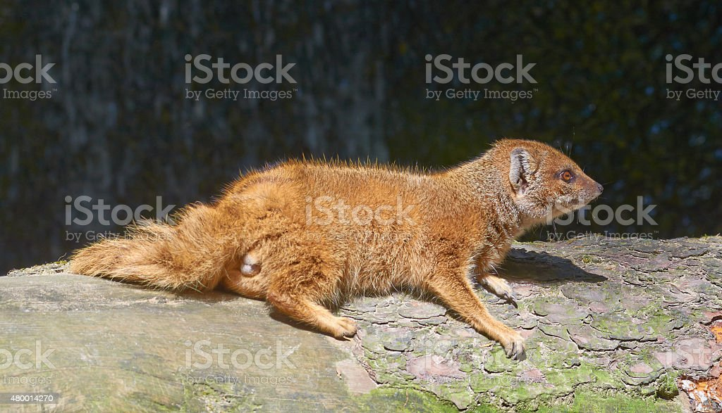 Yellow mongoose is relaxing in the sun stock photo