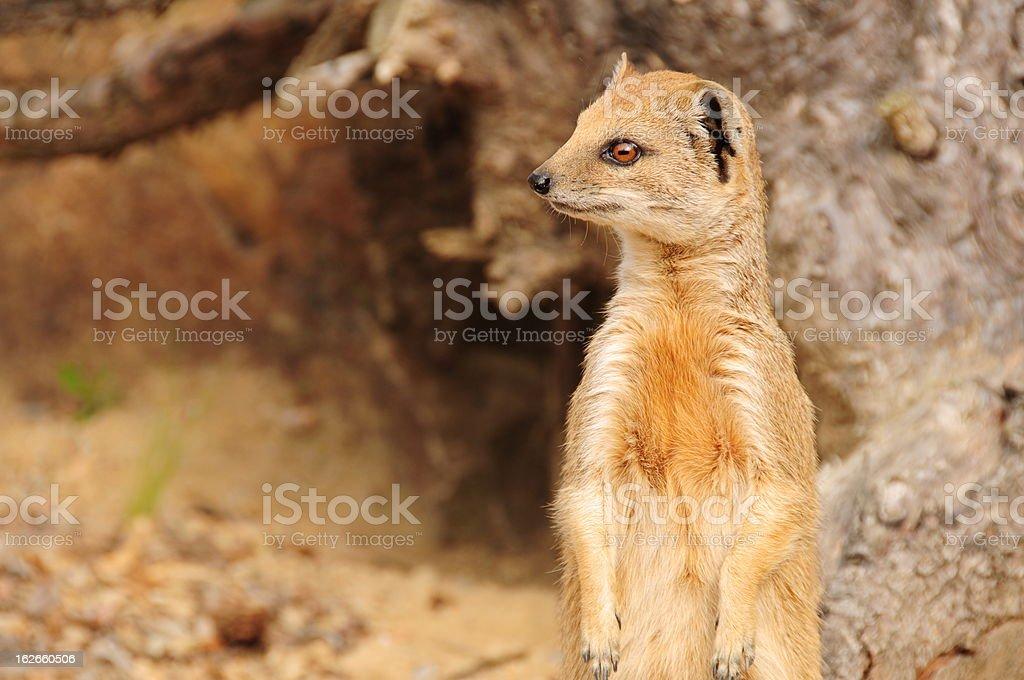 Yellow Mongoose , Jersey. stock photo