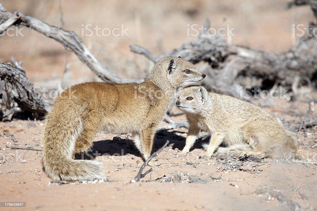 Yellow Mongoose, Kgalagadi Transfrontier Park, South Africa stock photo