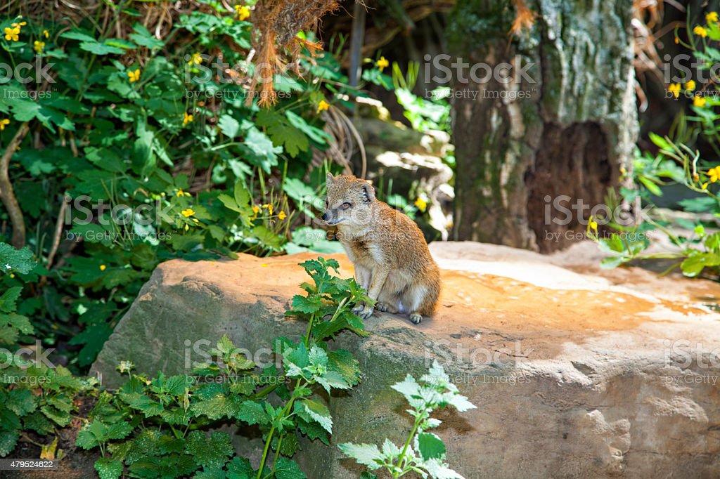 Yellow Mongoose on a log stock photo