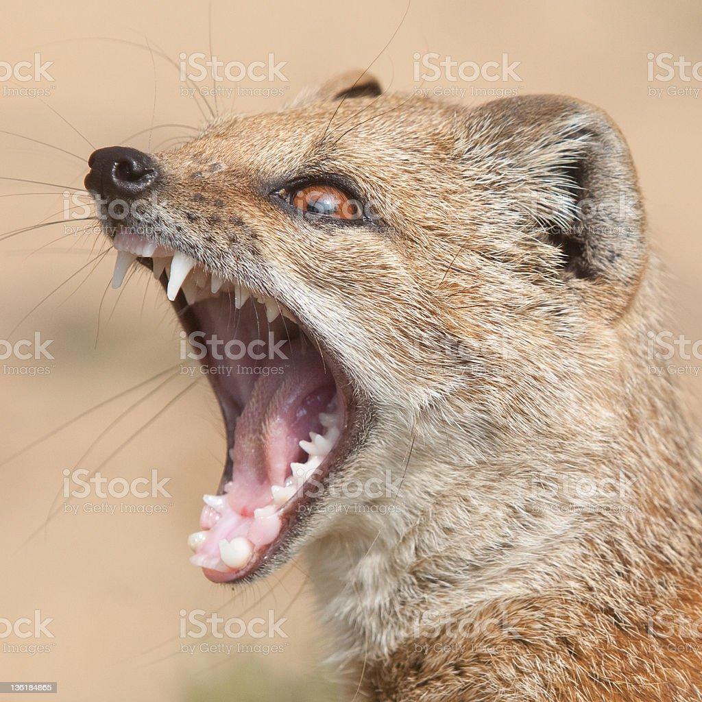Yellow mongoose royalty-free stock photo