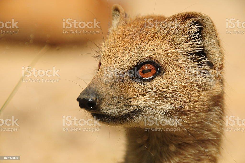 Yellow Mongoose . stock photo