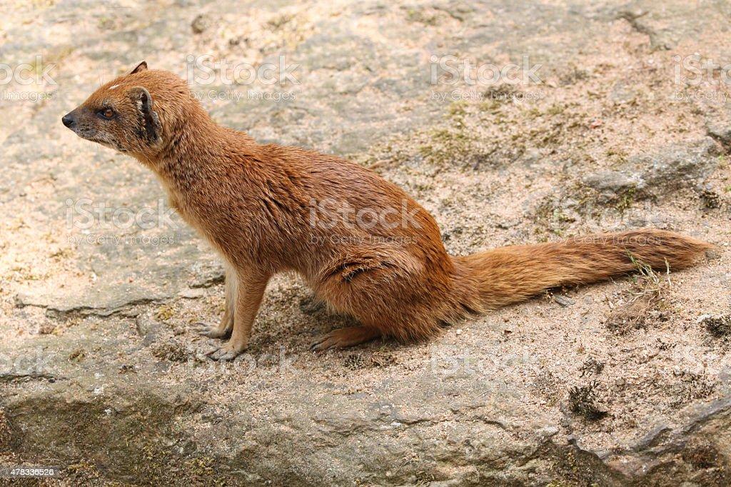 Yellow mongoose (Cynictis penicillata) stock photo