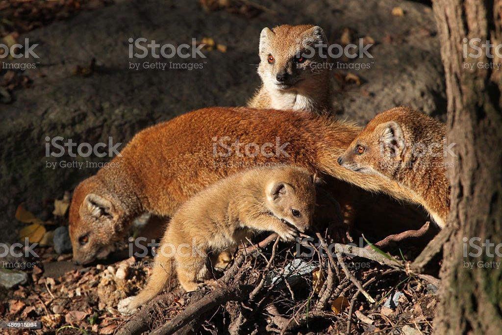Yellow mongoose (Cynictis penicillata). stock photo