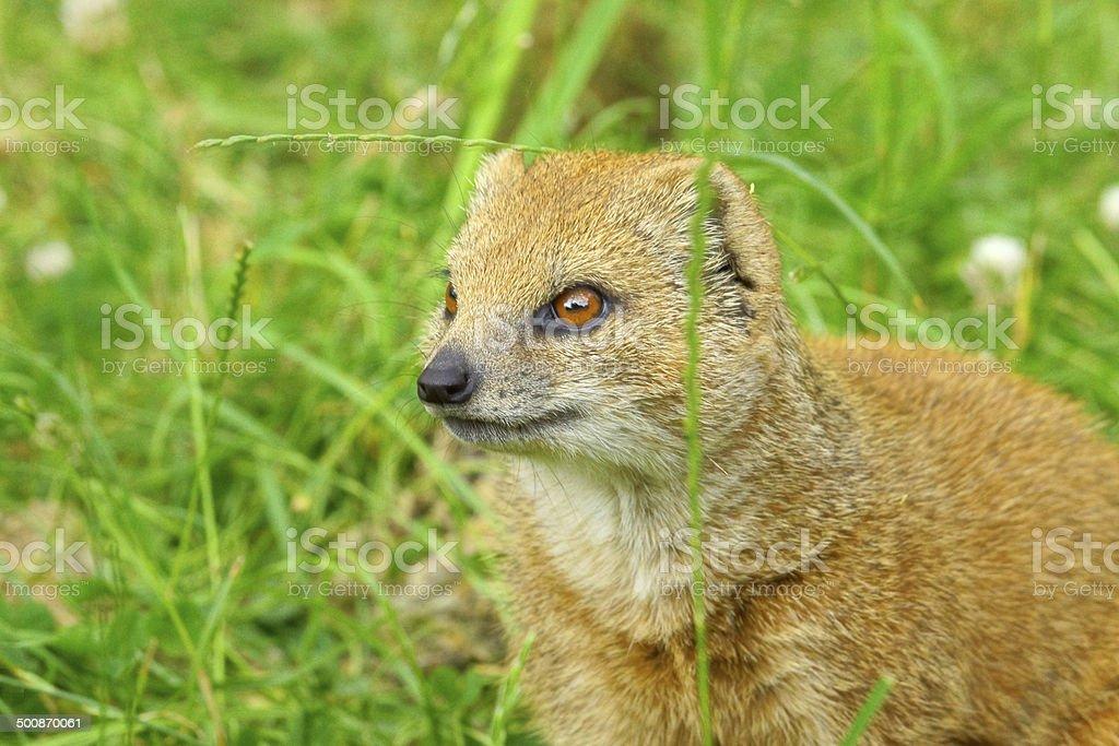 Yellow mongoose stock photo
