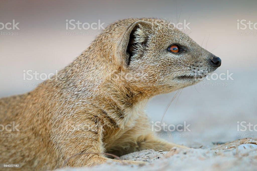 Yellow mongoose portrait stock photo