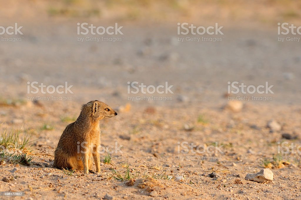 Yellow mongoose sitting stock photo