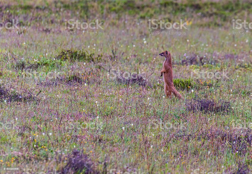 Yellow mongoose (Cynictis penicillata) standing in open grassy field stock photo