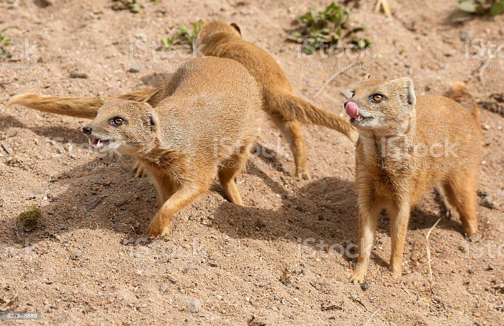 Yellow Mongooses (Cynictis penicillata) stock photo