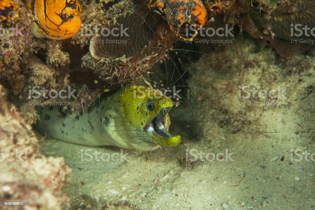 Yellow moray. Sipadan island. Celebes sea. Malaysia. stock photo