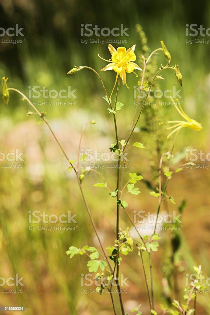 Yellow Mountain Columbine Aquilegia flavescens stock photo