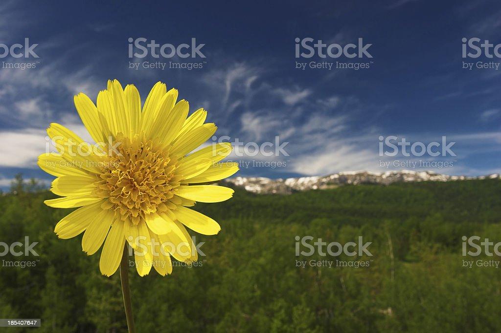 Yellow mountain flower royalty-free stock photo