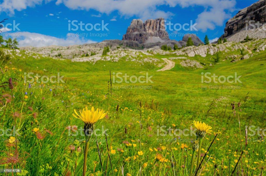 Yellow mountain flowers in Dolomites, Italy stock photo