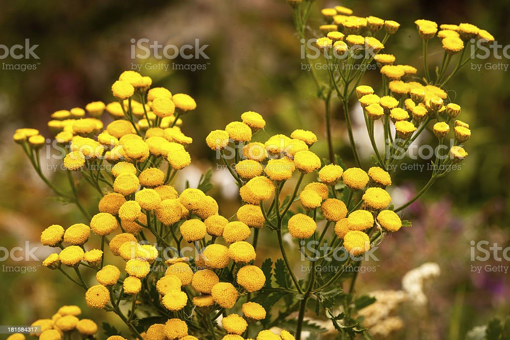 yellow mountain flowers royalty-free stock photo