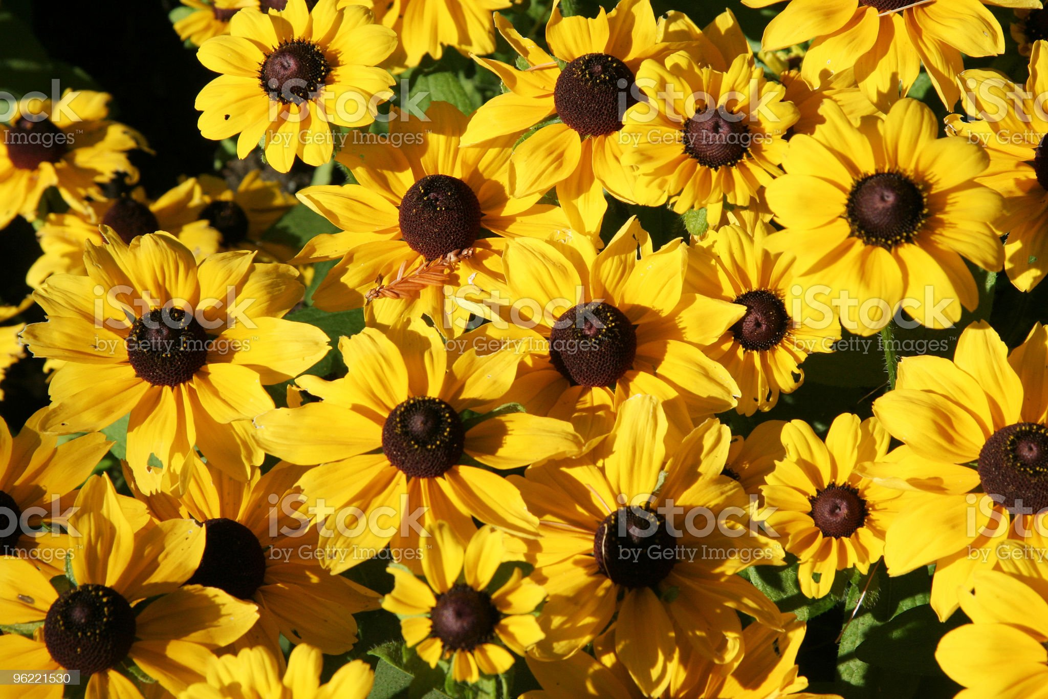 yellow mum royalty-free stock photo
