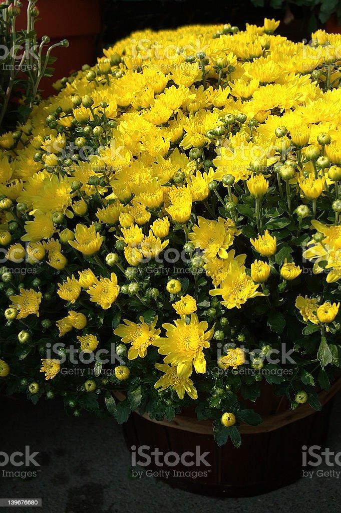Yellow Mums stock photo