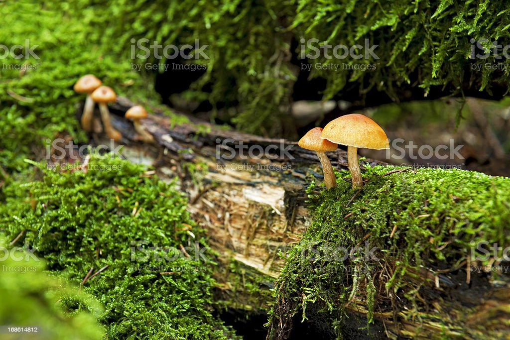 Yellow mushroom in the forest royalty-free stock photo