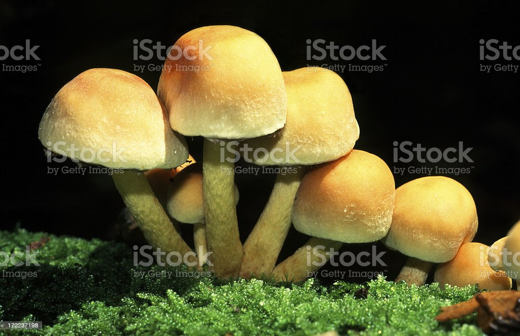 Yellow mushrooms in a row royalty-free stock photo