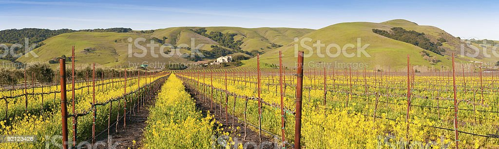 Yellow mustard bloom in Napa (panorama) royalty-free stock photo