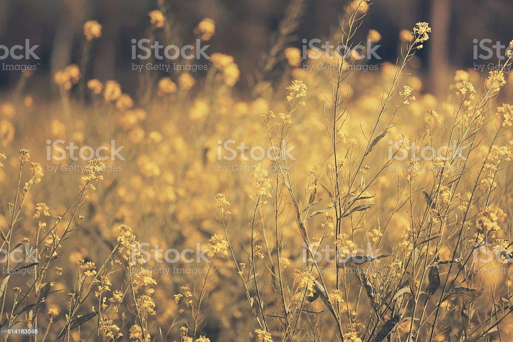 Yellow mustard field stock photo