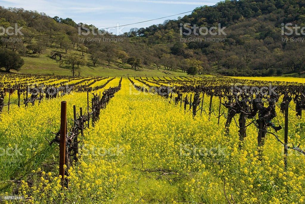 Yellow Mustard fields and dormant vineyards Napa Valley Yountville California stock photo