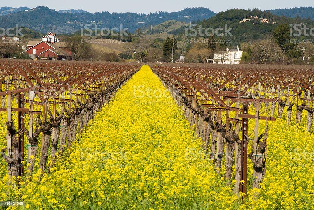 Yellow Mustard Napa Valley in spring dormant grape vines California stock photo
